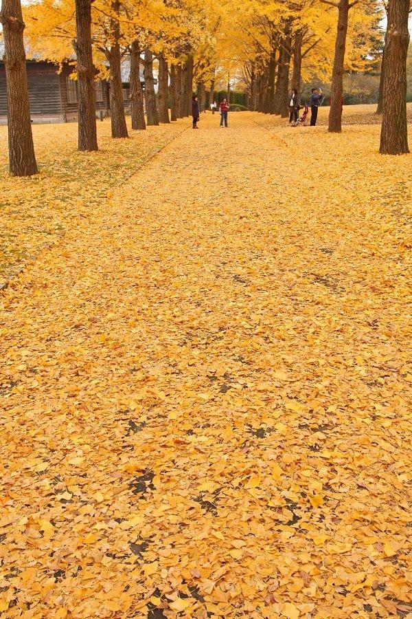 茨城县立历史馆 秋天的银杏金黄地毯